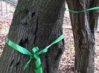 oak trees with green ribbons